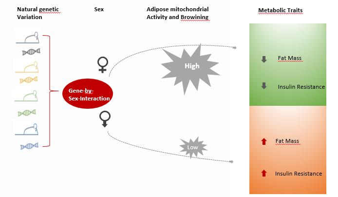 Die Entstehung kardio-metabolischen Merkmalen wie Übergewicht und Insulinresistenz kann auch vom Geschlecht abhängen. Quelle: HMGU